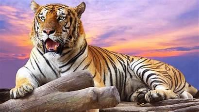 Tiger Wallpapers Wild Wallpapertag Ipad