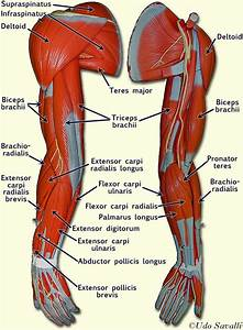 Related to Human Arm Muscles Anatomy | A&P | Pinterest ...