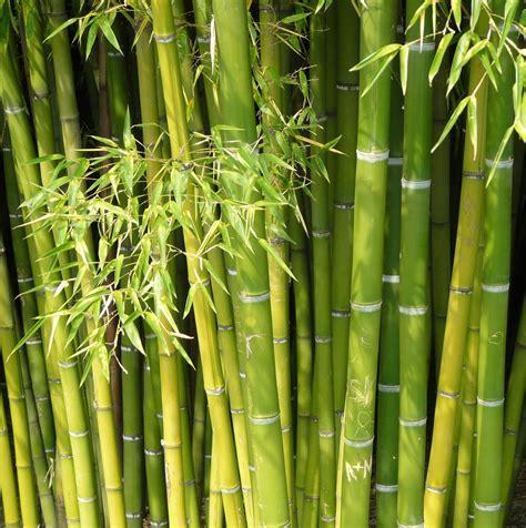 Bambus Der Sich Nicht Ausbreitet by Bambus Naturfaser Didymos