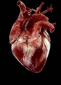 Real Human Heart | Blood | Pinterest | Human heart and ...
