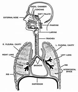 Labeled Diagram Of The Trachea