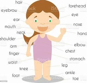 Human Body Parts Vocabulary Vector Illustration Stock