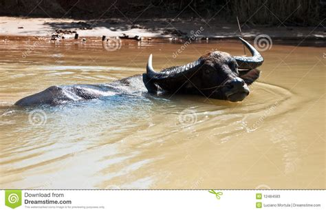 asian water buffalo stock image image of domestic