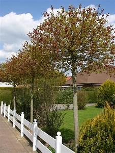 Amberbaum Oktoberglut Preis : kugelahorn kugelbaum 39 globosum 39 acer platanoides ~ Michelbontemps.com Haus und Dekorationen