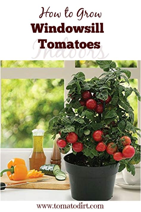 Growing Tomatoes Indoors On A Windowsill by How To Grow Windowsill Tomatoes Indoors Gardening