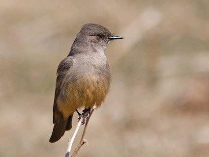 vermilion flycatcher identification all about birds