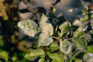 Schädlinge An Rosen : rosen pflanzenbau bek mpfung abwehr lfl ~ Lizthompson.info Haus und Dekorationen