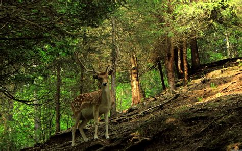 Forest Animal Wallpaper - forest animal wallpaper wallpapersafari