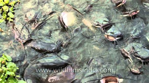 ugliest fish   world catfish  india youtube