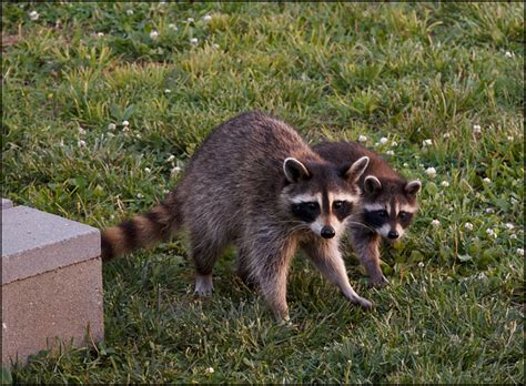 Raccoon Backyard by Raccoon In My Backyard 28 Images A Raccoon In My