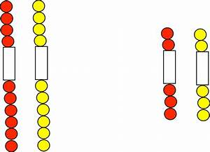 32 Cell Cycle Division Mitosis Beads Diagram
