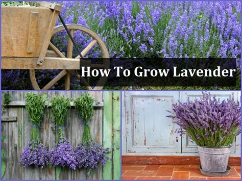 how to plant lavendar what to grow with lavender 28 images growing lavender bonnie plants the garden of eaden
