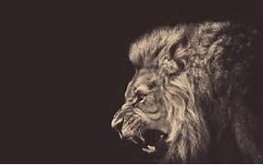 Angry male lion Wallpa...