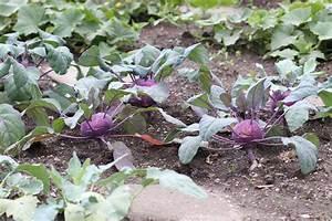 Wann Süßkartoffeln Ernten : kohlrabi ernten wann ist die beste erntezeit wann ist er reif ~ Buech-reservation.com Haus und Dekorationen