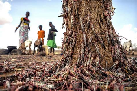larger wave  locusts threatens millions  africa
