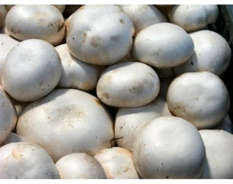 growing button mushrooms how to grow white button mushrooms