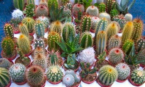 cactus varieties photos cactus plant collection pack of 12 plants in assorted varieties