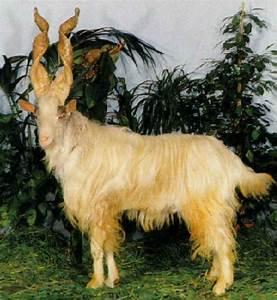 Italian breeds of goats: Girgentana