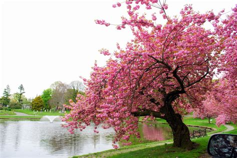 Jan 28, 2020 · the name derives from its blossoming coinciding with western japan's spring equinox, called higan. Mille Fiori Favoriti: Pink Saturday - Pink Trees