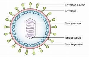 Introduction To Viruses  U2013 General Microbiology
