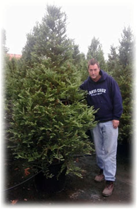 potted live christmas trees in san diego rent live tree san francisco san jose santa los gatos