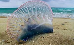 Portuguese Man Ou2019 Wars Putting The Sting On South Padre Island