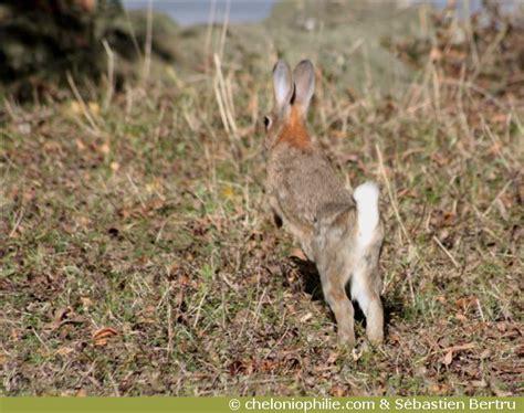 le lapin de garenne oryctolagus cuniculus