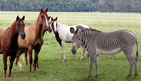zebra horses vs horse zebras difference similarities related training deep common