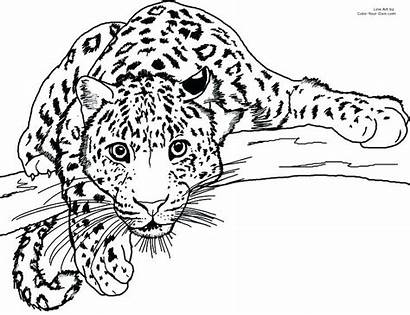 Leopard Coloring Pages Amur Snow Getcolorings