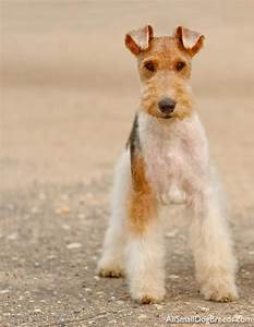 8 Best Fox Terrier  Wire  Puppies Images On Pinterest