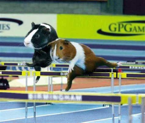 guinea pig olympics funnycom