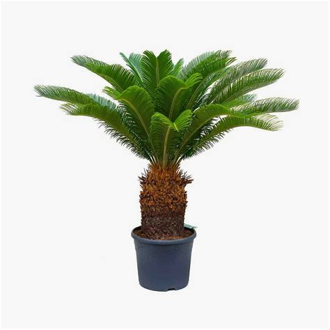Palmeira Cica (Sagu) – Chácara Tropical