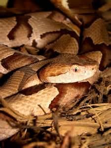 Copperhead Snake Poisonous