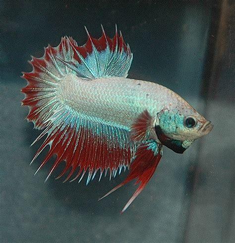how do bettas live how long do betta fish live betta fish care a betta fish must read