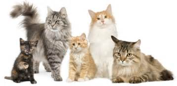 breed of cats my top collection cat breeds and pictures