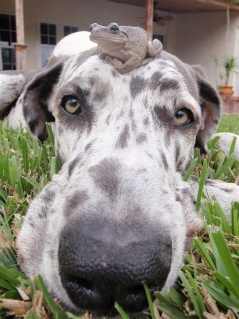 reasons great danes   worst breed