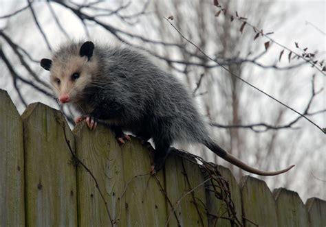 Possum Images I Opened A Brushtail Possum Restaurant On My Back Deck Pics