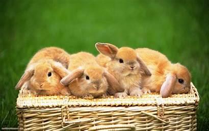 Rabbits Wallpapers Fun