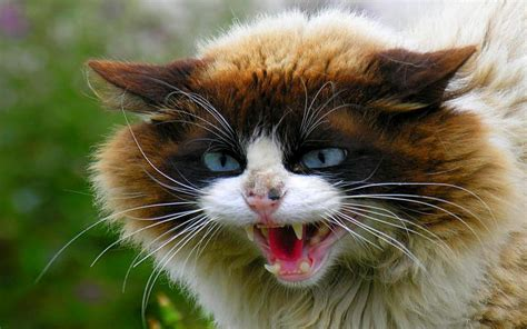 hd  angry cat wallpaper