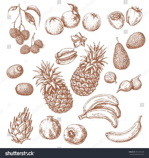 lychee fruit drawing tropical fruits set hand drawn sketch stock vector