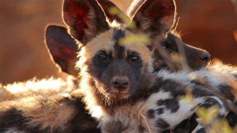 wallpaper wild dog  eyes predator fur nature