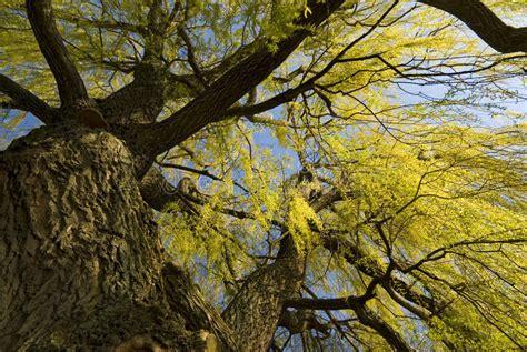 ashland willow pine imsge willow tree background royalty free stock images image 14758839