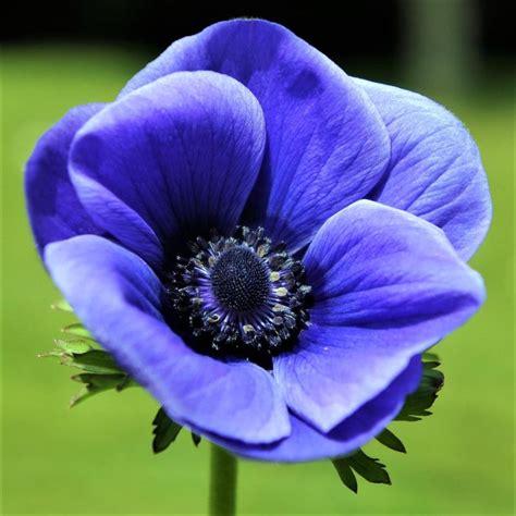 anemone blue poppy bulbs anemone with black center