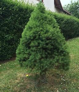 Tannenbaum Im Topf : weihnachtsbaum im topf kaufen pflegen auspflanzen ~ Frokenaadalensverden.com Haus und Dekorationen