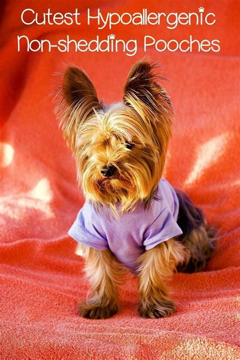 hypoallergenic shed free dogs 17 best ideas about small hypoallergenic dogs on