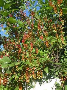 Was Ist Das Für Ein Baum : was ist das f r ein baum mit fr chten hnlich roter ~ Watch28wear.com Haus und Dekorationen