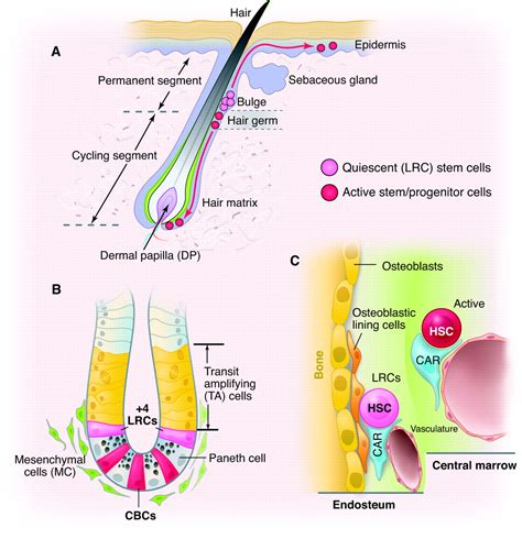 Aqua Bio Stem Cell Activator coexistence of quiescent and active stem cells in