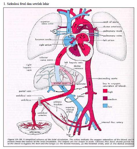 Janin Embrio Arycoloum Blogspot Com Peredaran Darah Janin