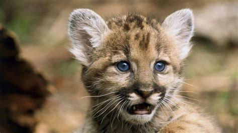 Cool Baby Animal Wallpapers - galer 237 a de fotos de pumas fotos de pumas