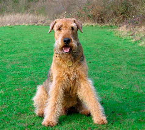 airedale terrier non shedding airedale terrier breed gallery